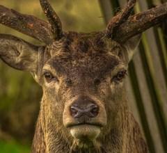 Deer Man Virginia Story