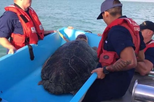 Cocaine turtle saved in ocean