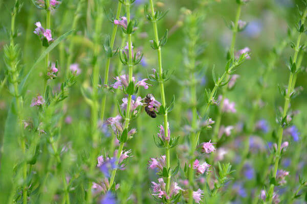 HEALING WITH HYSSOP OIL