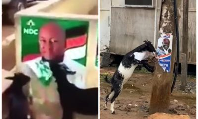 Video: Goats Chews Posters Of Nana Addo, Mahama