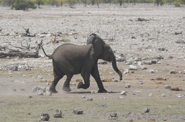 Jonge olifant in Etosha National Park