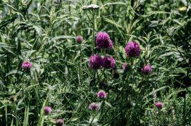 Noorse flora paarse bloemen
