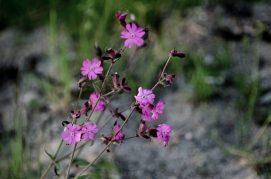Noorse flora paarse bloemetjes