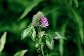 Noorse flora paarse knop