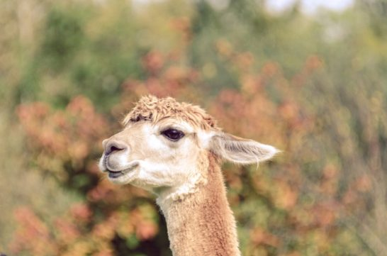 6. Alpaca autumn