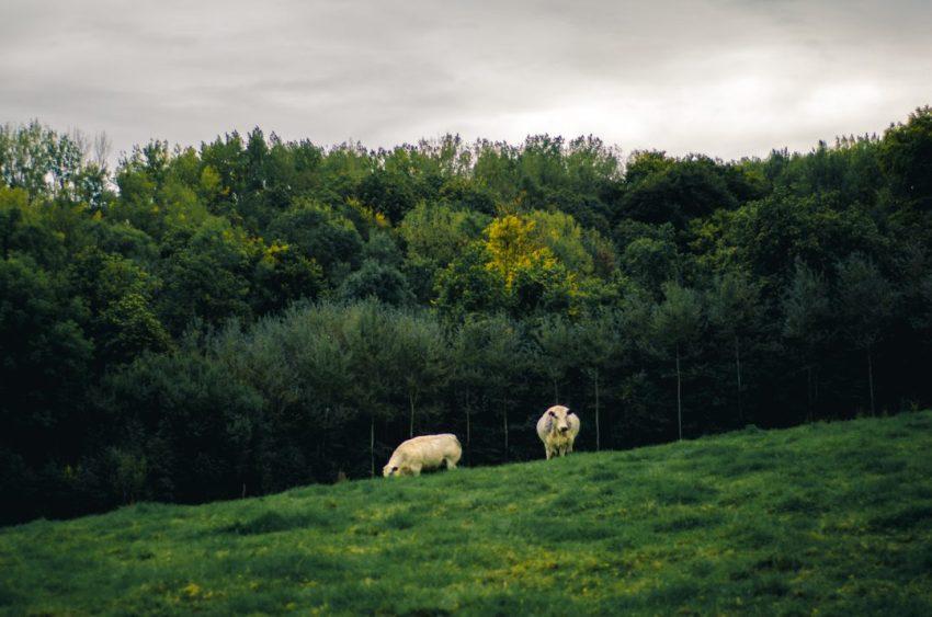 WandelWalhalla-cows