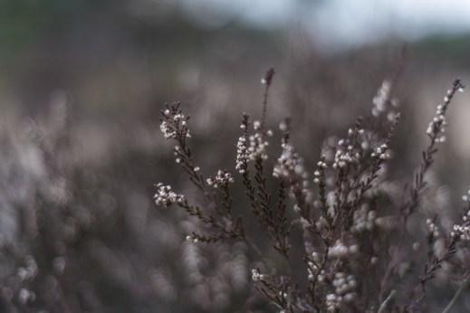 Kalmthout - heath grass close up