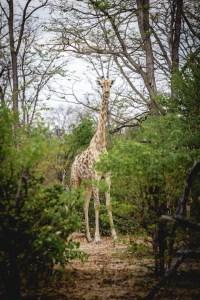 Giraf in Botswana