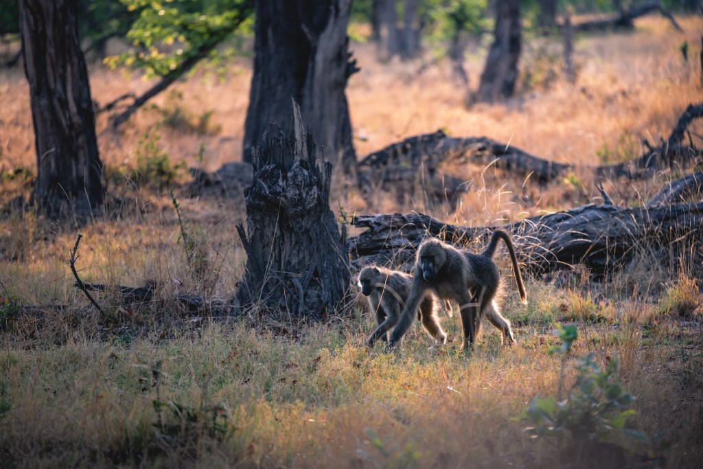 a family of baboons in Botswana