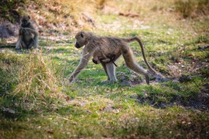 baboon mother and young