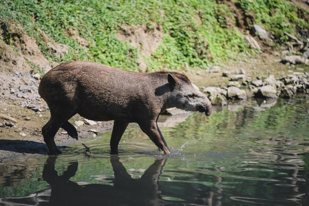 Tapir in Pairi Daiza