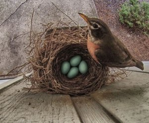 Robin_nest