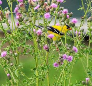 american-goldfinch