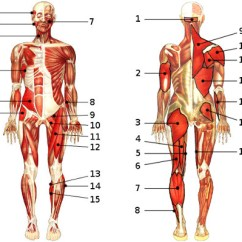 Human Muscles Diagram Labeled Front And Back Toyota Corolla Wiring Free Anatomy Quiz The Muscular System Section