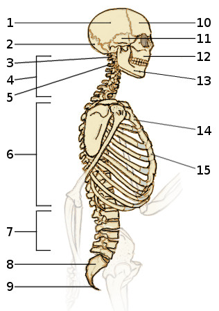 integumentary system diagram labeled leviton dimmer switch wiring free anatomy quiz - the axial skeleton, 2 side view