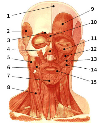 face muscles diagram dayton wiring instructions free anatomy quiz - of the face, locations 1