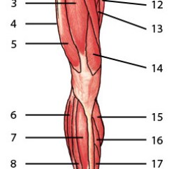 Arm Muscles Anatomy Diagram Blank Standard Stratocaster Wiring Free Quiz - Of The Lower Limb, Anterior Locations 1