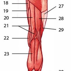 Blank Muscle Diagram To Label Car Mate Trailer Wiring Free Anatomy Quiz - Muscles Of The Lower Limb, Posterior Locations 2
