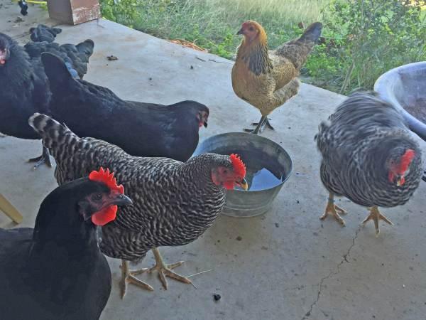 chickens-october-2014