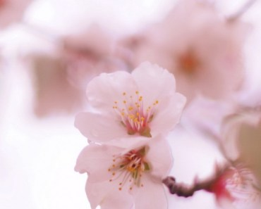 Blooming Peach Blossoms