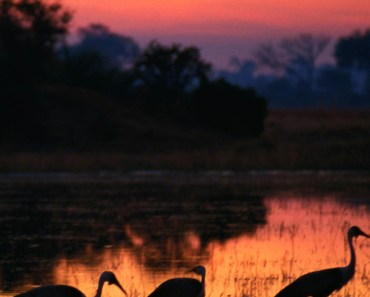 Egrets Siltouetted At Twilight