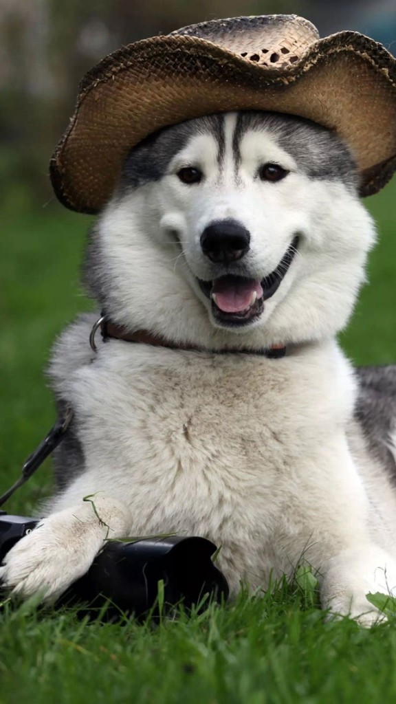 Cute Dog Puppy Wallpapers Alaskan Malamute With Cowboy Hat Wallpaper Free Iphone