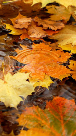 Psychedelic Wallpapers For Iphone 6 Autumn Yellow Maple Leaves On The River Wallpaper Free