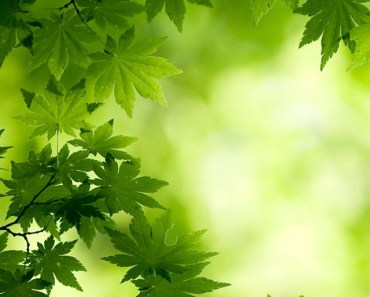 Green Maple Leaves Bokeh