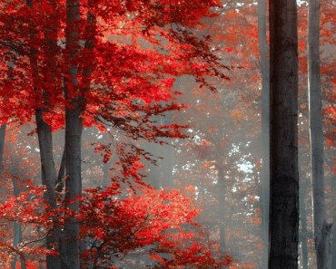 Maple Forest