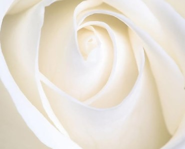 Pure White Rose