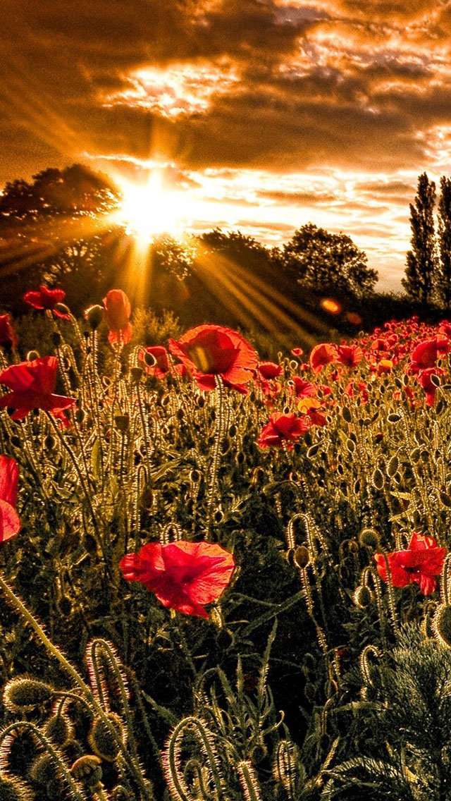 Iphone 4s Ios 7 Wallpaper Red Flowers At Sunset Iphone 6 6 Plus And Iphone 5 4