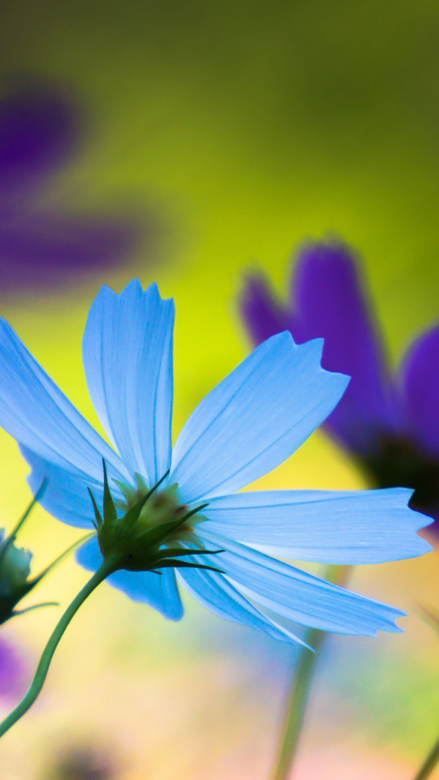 Wallpaper For Iphone 5c Free Blue Amp Purple Flowers Iphone 6 6 Plus And Iphone 5 4