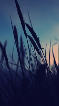 Dog's-Tail Grass Sunset