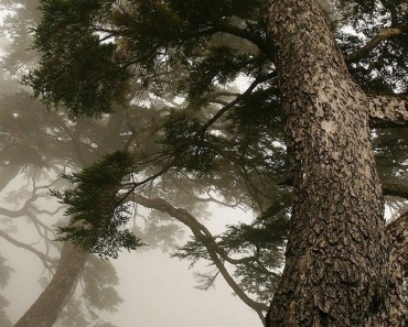 Misty Big Tree