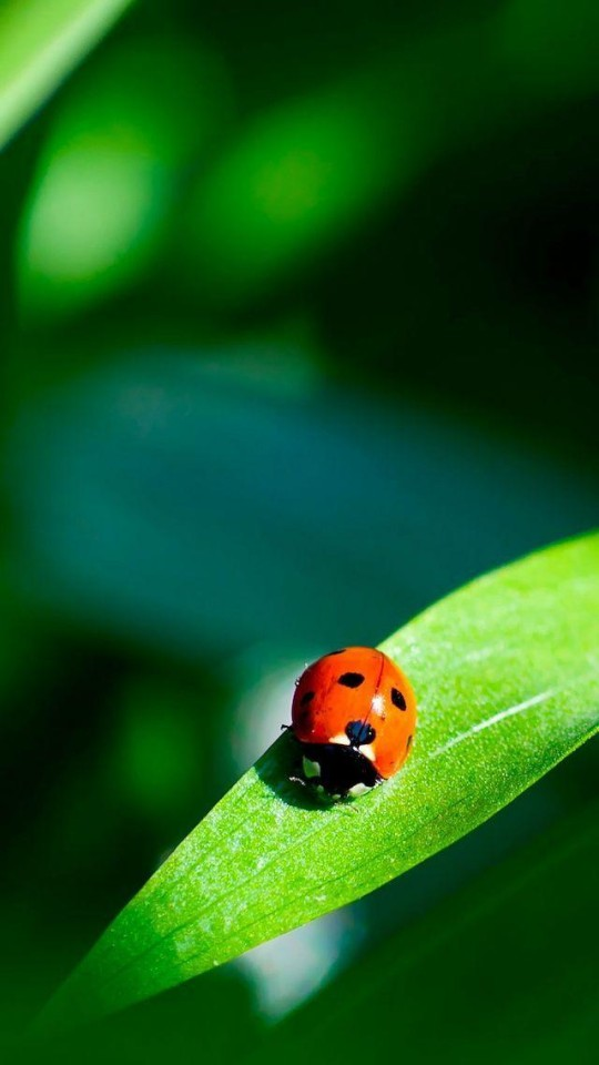 Iphone X Perspective Wallpaper Size Red Ladybug On A Green Leaf Wallpaper Free Iphone Wallpapers
