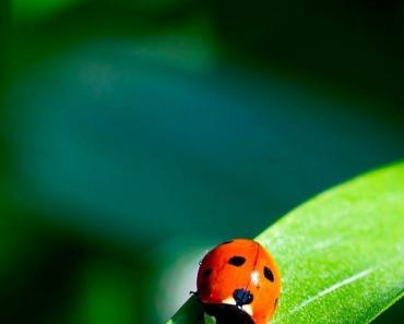 Red Ladybug On A Green Leaf