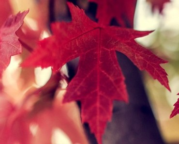 Red Maple Leaves Tree