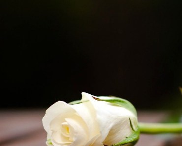 White Rose On The Wood