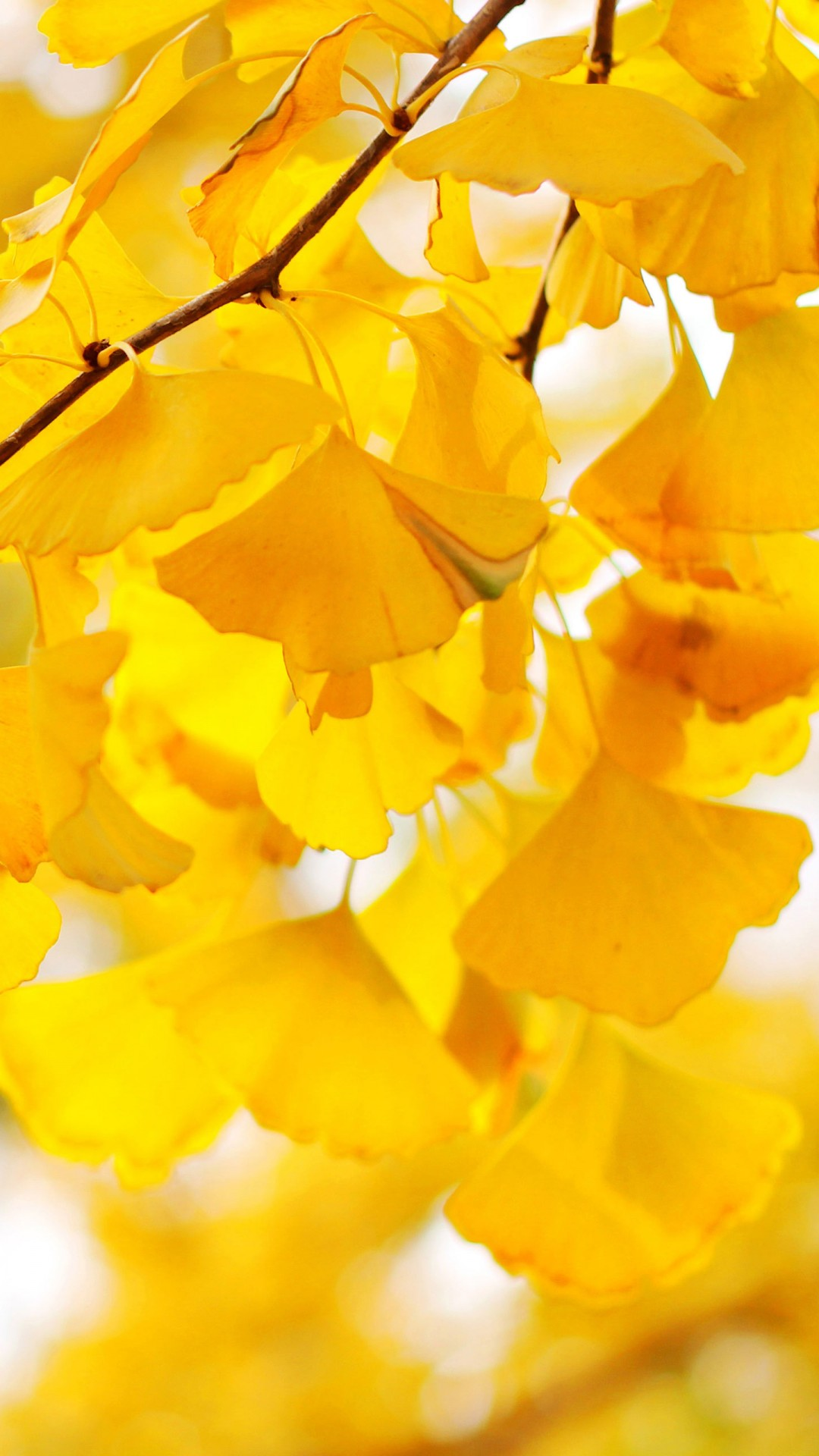 Free Fall Wallpaper For Iphone 6 Ginkgo Biloba Iphone 6 6 Plus And Iphone 5 4 Wallpapers