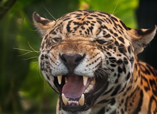 Zoo-Goer Attacked By Jaguar During Selfie