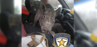 Minnesota Cop Pulls Over Swerving Driver, Finds 250-Pound Pig On His Lap