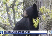 Bear In Grand Rapids Dropped From Tree, Released Back Into Wild