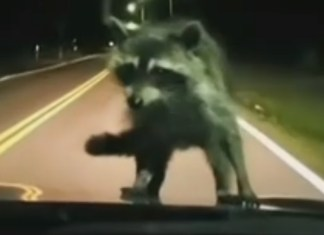 Raccoon Hitches Short Ride On Family's Car