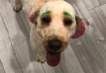 Woman's Dog Dyed Green And Pink By Questionable Groomer