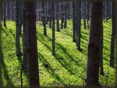 U proleće šume Južnog Kučaja su pune sremuša