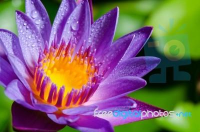 Beautiful Purple Lotus Flower Stock Photo
