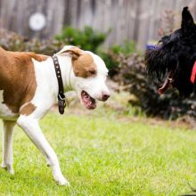 how-to-stop-dog-aggression-towards-other-dogs