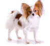 top ten easiest to train dog breeds papillon