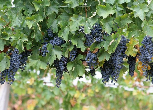 edible fruits of shrubs