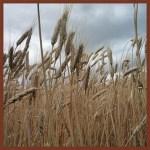 durum wheat farm farmland investing